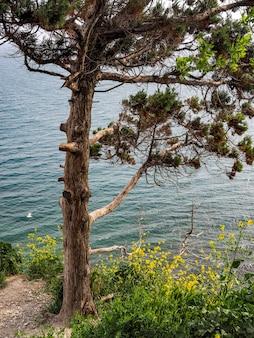 崖の海岸に黄色の花で単独でトウヒの木