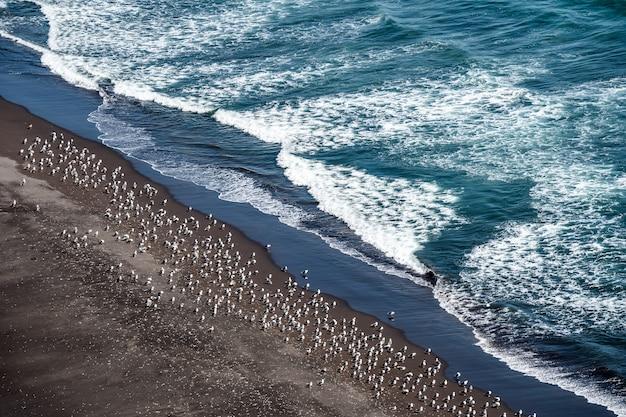 黒い砂浜のカムチャツカ海岸に沿って、暖かい夏の太陽を浴びる野生のカモメの大群があります