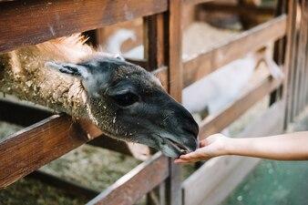 Alpaca feeding from girl's hand