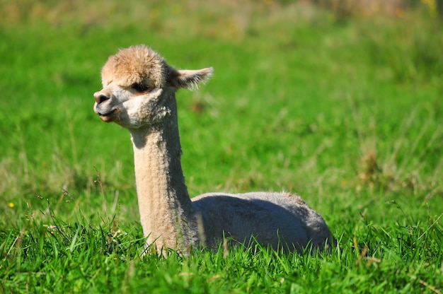 Alpaca on green grass