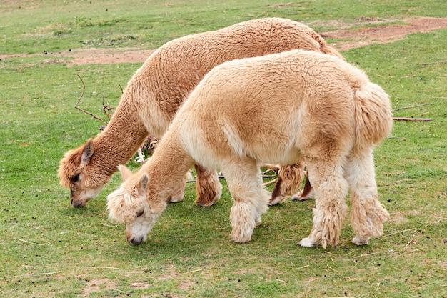 Альпака, лама или лама ест зеленую траву на лугу