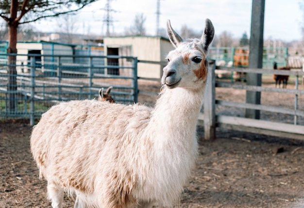 An alpaca resembling a llama from south america is in its pen on a farm