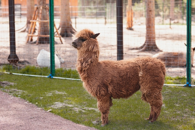 Alpaca walks on the street in sunny weather in the petting zoo