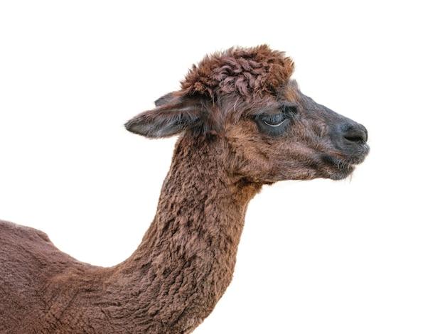 白で隔離された厚い茶色の髪のアルパカ。美しい髪の飼いならされたペットの肖像画。