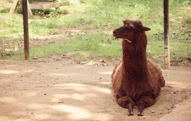Alpaca in the zoo