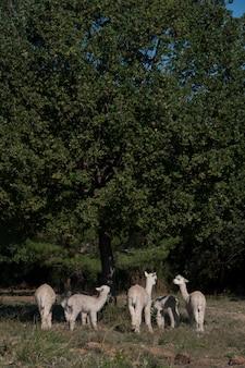 Милый поле alpacas cria зеленый стад