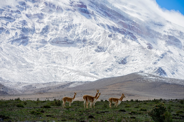 Alpacas grazing near chimborazo volcano