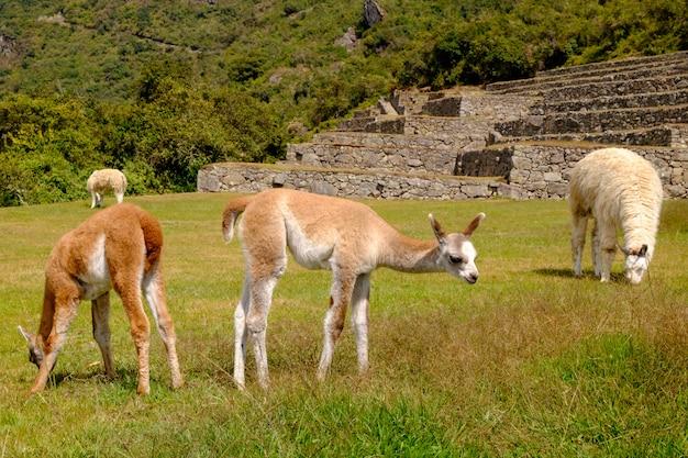Alpacas in  machu picchu lost city of inca, peru