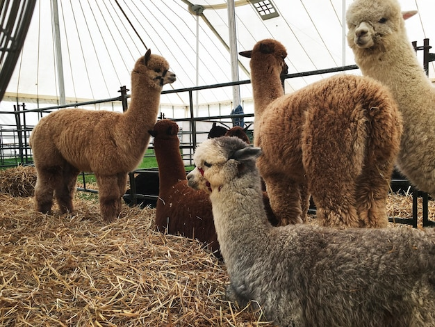 Alpacas in a stable