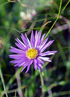 The alpine aster is a small herbaceous plant, a spontaneous perennial of alpine pastures belonging to the asteraceae family.