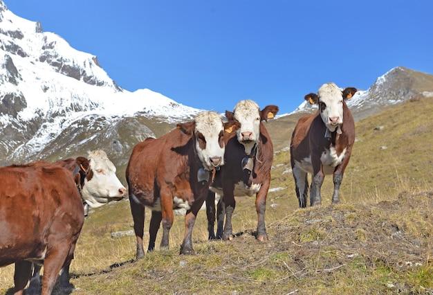 青空の下の山の牧草地で高山の茶色と白の牛