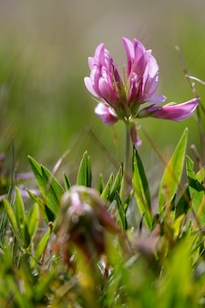 ドロミテで自生するアルパインクローバー(trifolium alpinum)