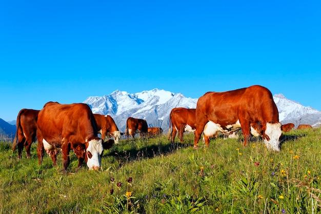Альпийский пейзаж коровы