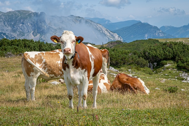 The alpine cows graze in a mountain meadow in summer time