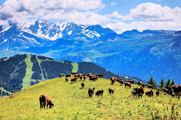 Alpine landscape and cows in france in summer