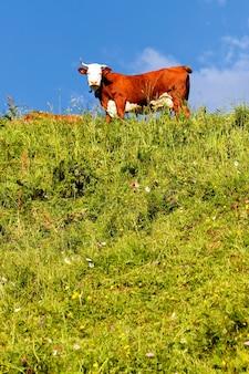 春のフランスの牛と緑の草と高山の風景