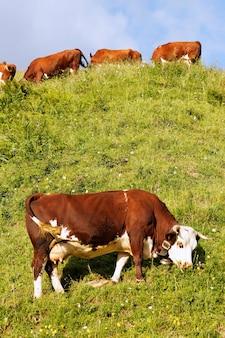 Альпийский пейзаж с коровой и зеленой травой во франции