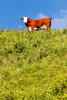Alpine landscape with cow and green grass in france in spring