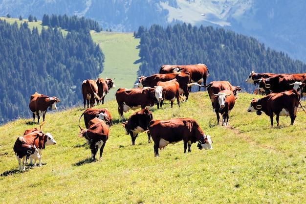 春のフランスの牛と高山の風景