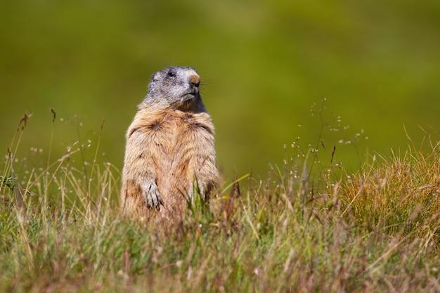 Альпийский сурок стоит на задних лапах и высматривает опасность на горизонте