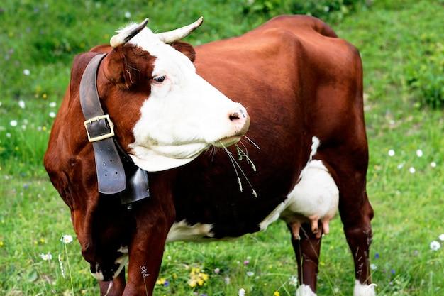 春のフランスのアルプス山牛