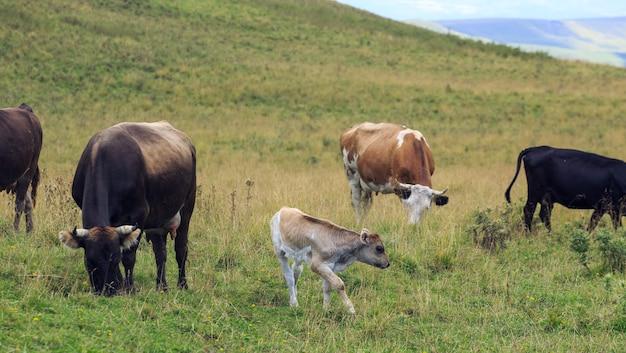 Альпийский пастбище в лесу для коров и телят.