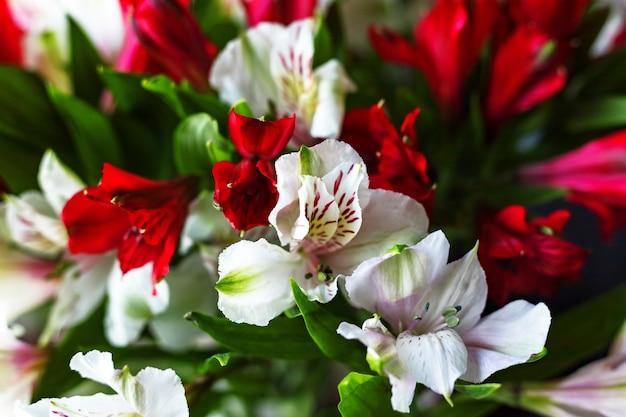 Alstroemeria 꽃 어두운 배경에 빨간색과 흰색 색상 꽃다발입니다. 확대. 평면도. 플랫 레이. 확대. 선택적 소프트 포커스입니다. 필드의 얕은 깊이. 텍스트 복사 공간입니다.