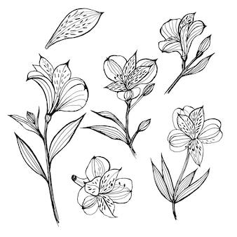 Alstroemeria. 꽃 요소 집합입니다. 손으로 그린 그림. 라이너를 스케치하십시오.