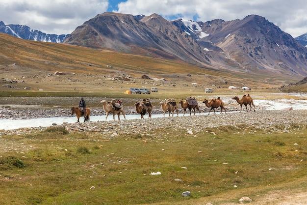 Altai, mongolia - june 14, 2017: mongolian nature. mongolian nomad on a horse leads a caravan of camels.