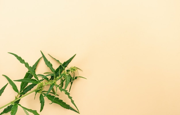 대체 약품. 베이지 색 배경에 대마초 공장입니다. 의료 잡초. 공간 복사