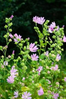 Алтея лекарственный цветы на зеленом лугу