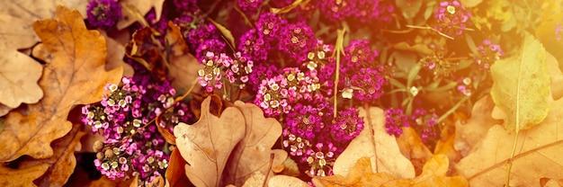 Пурпурные цветы алиссума в полном цвету среди опавших оранжевых осенних дубовых листьев в осеннем парке. баннер. вспышка