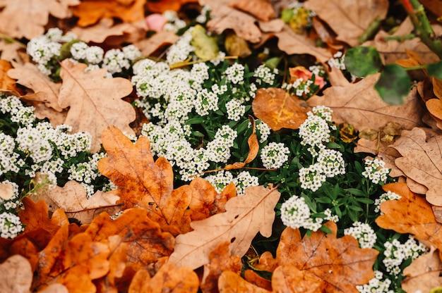 Белые цветы алиссума в полном цвету среди опавших оранжевых осенних дубовых листьев в осеннем парке