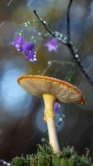 Amanita muscaria мухомор красные грибы с белыми пятнами в траве