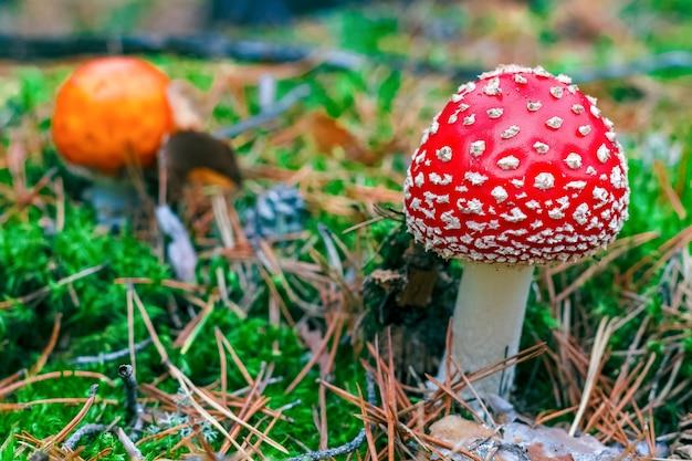 Мухомор muscaria. красный ядовитый гриб мухомор в лесу