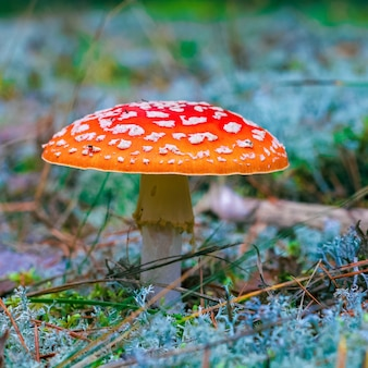 Amanita muscaria. 숲에서 붉은 독성 플라이 agaric 버섯