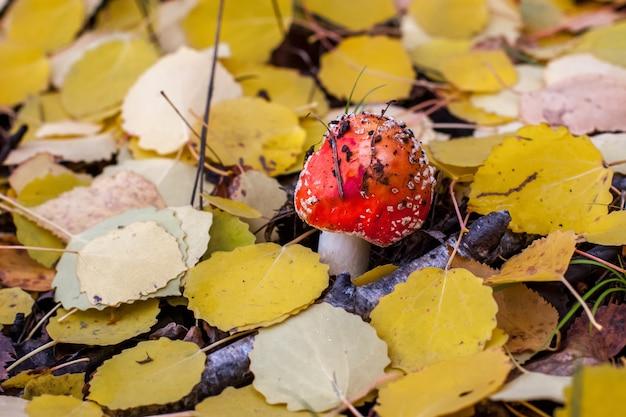 Мухомор с красной шляпой и белыми точками среди осенней листвы и ветвей в лесу. выборочный фокус. фон размытый.