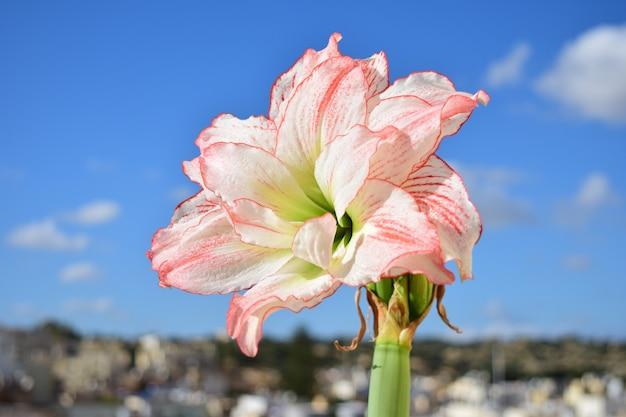 Amaryllis aphrodite in piena fioritura, giardinaggio pensile di successo