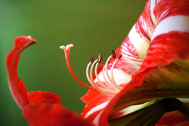 Amaryllis flower with pistils and stamens