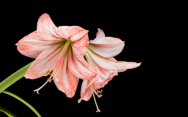 Amaryllis (hipperastrum) flowers isolated on black
