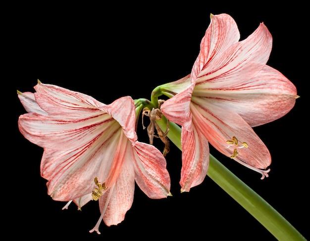 블랙에 고립 된 아마 릴리스 (hipperastrum) 꽃