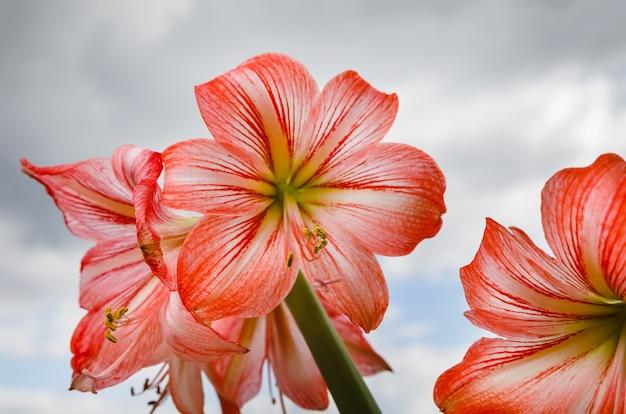 아마릴리스 (hipperastrum). 흐린 하늘에 대 한 빨간색 큰 아마 릴리스 꽃