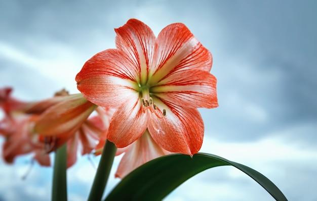 アマリリス(ヒペラストラム)。曇り空を背景に赤い大きなアマリリスの花