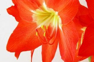 Amaryllis, red