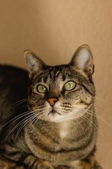 緑の目が見上げる驚いたふわふわの灰色の猫