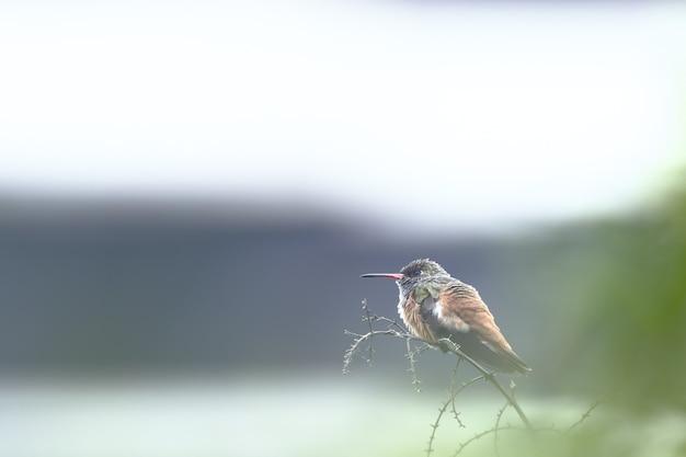 アマジリアハチドリ