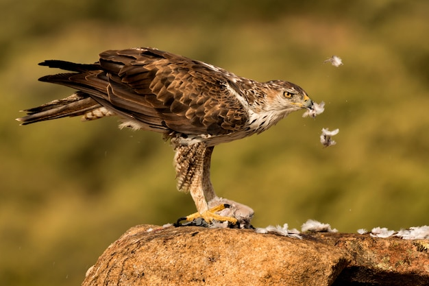 Amazin wild bonelli's eagle eating