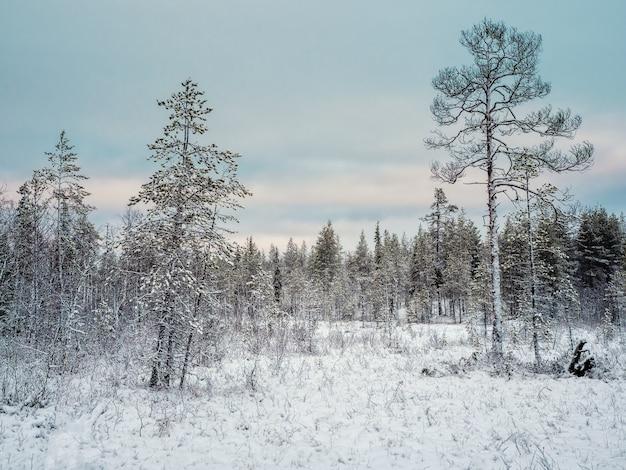 Удивительный арктический пейзаж с деревьями в снегу в полярный день. кольский полуостров.