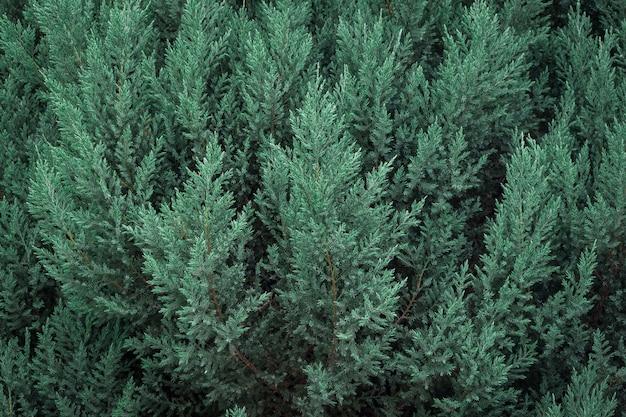 常緑の松の木の素晴らしい背景。