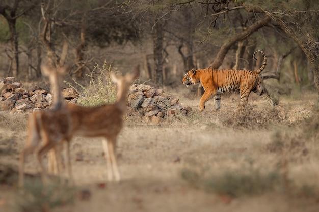 Удивительный бенгальский тигр на природе с газелями